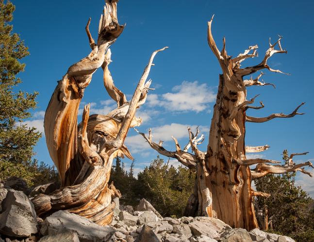 Wheeler Peak Bristlecones